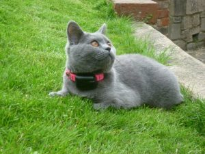 grey cat with cat fence collar