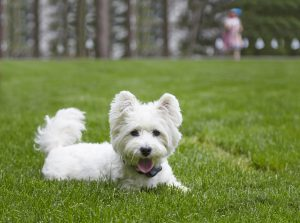 westie dog with dog fence collar