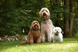 three dogs wearing dog fence collars