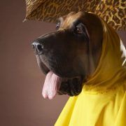 Dog wearing yellow raincoat