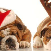 bulldogs sleeping next to a christmas tree